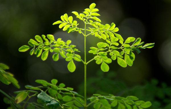 Meerrettichbaum – Moringa oleifera
