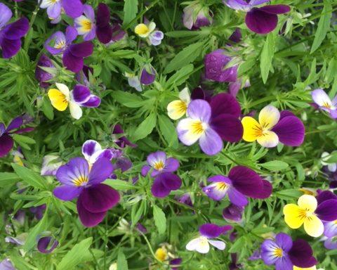Wildes Stiefmütterchen – Viola tricolor
